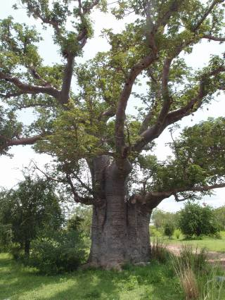 A baobab tree in Upper East Region, Ghana