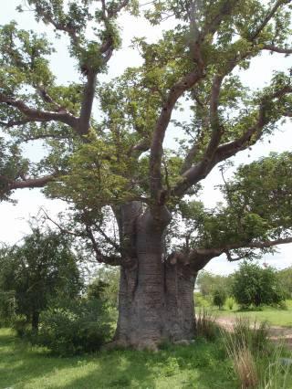 A baobab tree in Upper East Region, Ghana