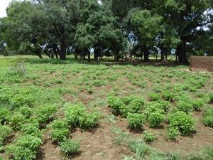 Duusi's Pepper Farm