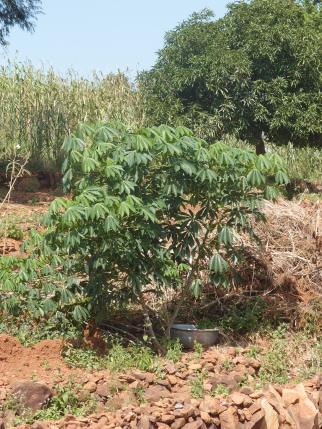 The cassava plants that a farmer in Dussi has trialled growing this year