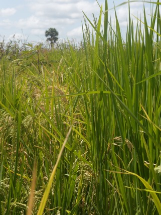 Two varieties of rice growing side-by-side. Right: the native variety which was planted in June and is not yet producing heads of rice. Left: the introduced jasmine variety which was planted in July and has heads of rice.