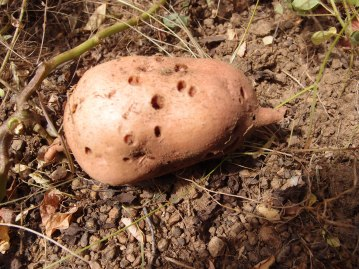 Evidence of pests damaging the crop - sweet potato weevils have been eating this potato
