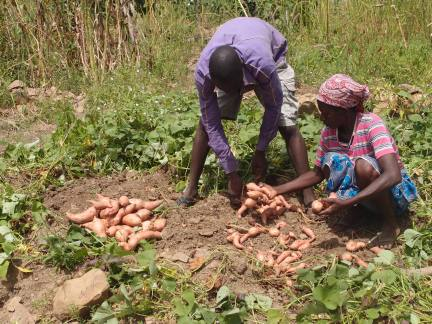 Two farmers sort their orange-fleshed sweet potato yield by size