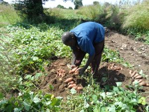 Mr. James Adongo, a farmer in Kabusgo Harvesting His OFSP roots.