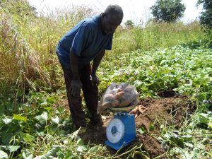 Mr. James Adongo, a farmer in Kabusgo weighing His OFSP roots during a Sample Harvest.