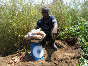 Mr. Salia Asongo, a farmer in Kabusgo weighing His OFSP roots during a Sample Harvest.